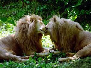 Postal: Pareja de leones amigos