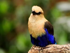 Un bonito pájaro, con algunas plumas de color azul