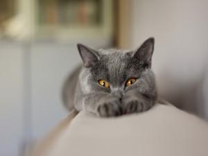 Postal: Un gato gris estirado