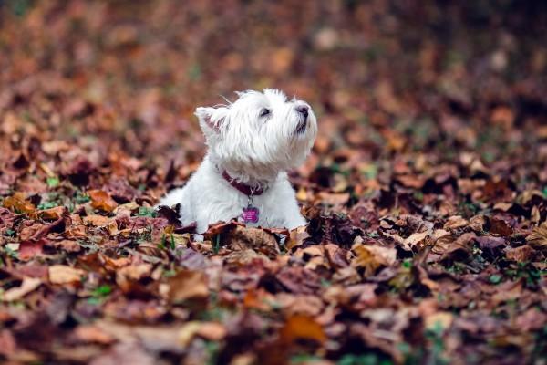 Perro blanco entre las hojas del otoño