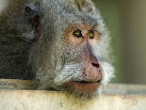 Mono pensativo