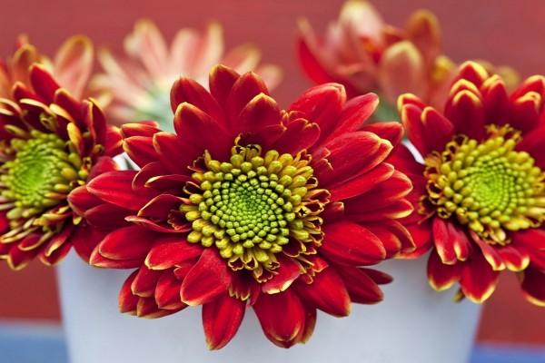 Grandes flores de color rojo y centro amarillo