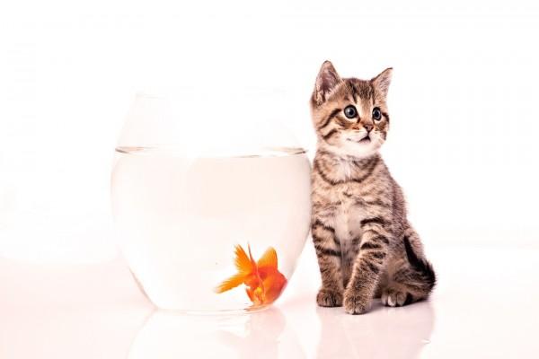 Gatito junto a un pez naranja