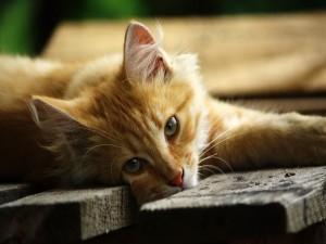 Postal: Gato sobre la madera