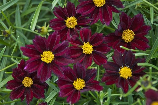 Flores terciopelo