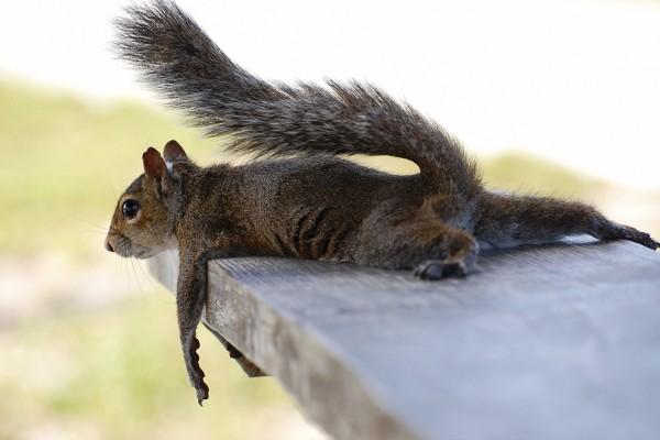 Ardilla tumbada sobre una madera