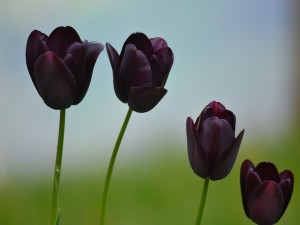 Postal: Tulipanes oscuros