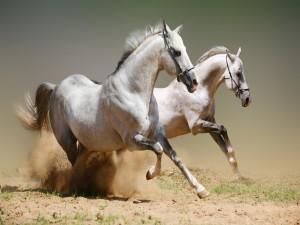 Dos caballos blancos en la arena