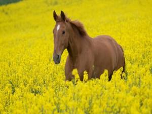 Postal: Caballo en un campo, con flores amarillas