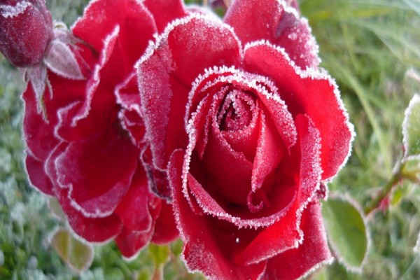 Rosas heladas en invierno