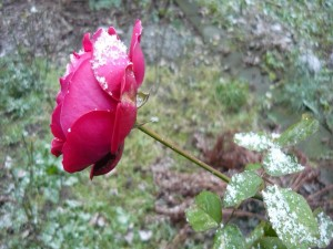Rosa con restos de nieve
