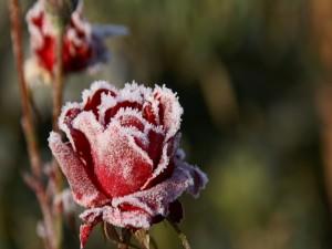 Postal: Una rosa congelada