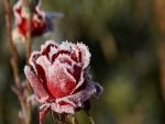 Una rosa congelada