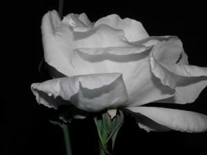 Postal: Una gran rosa de color blanco