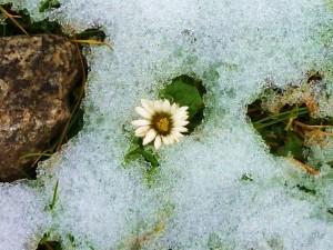 Una margarita en invierno