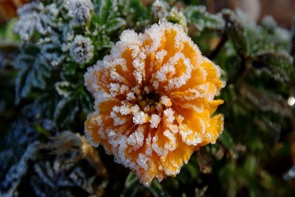 Una flor naranja, con hielo entre los pétalos