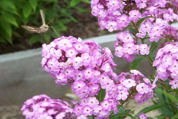 Flores rosas, con una mariposa posada