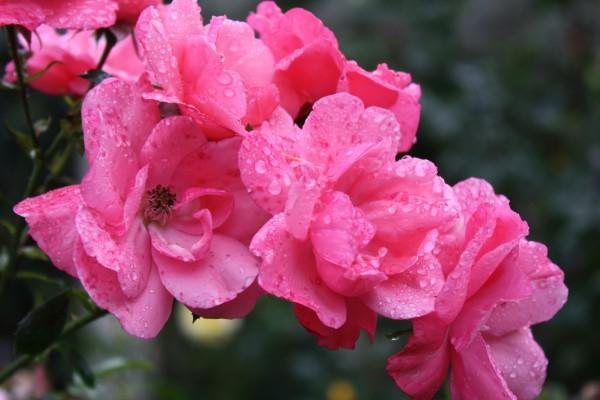 Flores rosas con gotas de agua