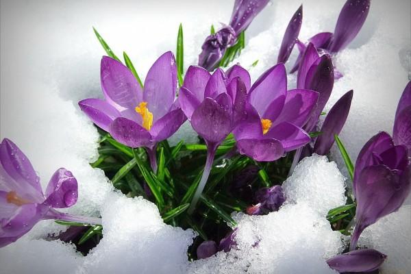 Flores moradas en un suelo invernal