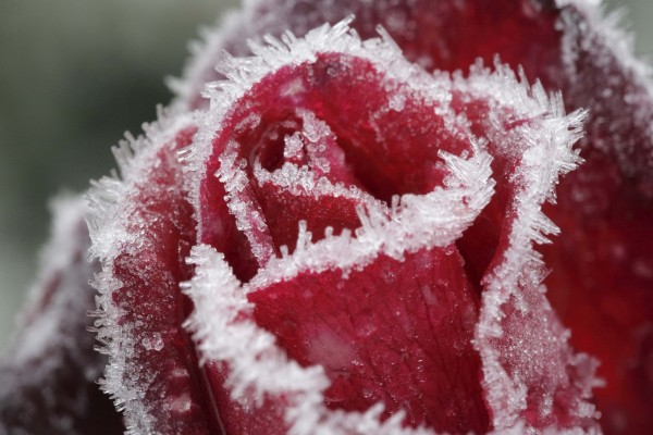 Rosa roja congelada