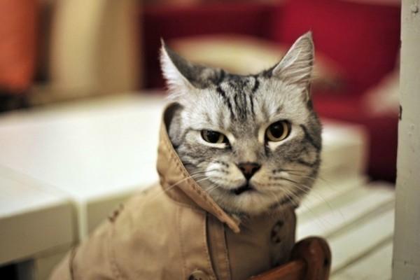 Gato con gabardina