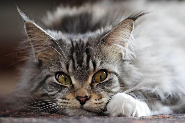 Un precioso gato, tumbado en el suelo