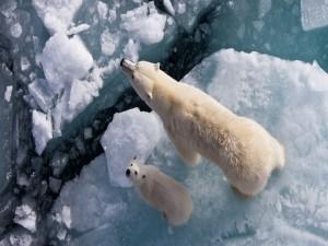 Postal: Osos caminando sobre el hielo