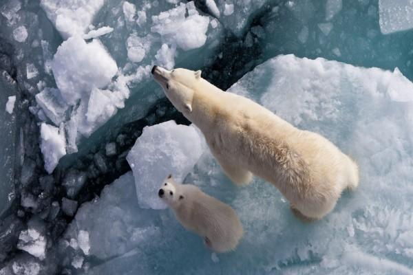 Osos caminando sobre el hielo