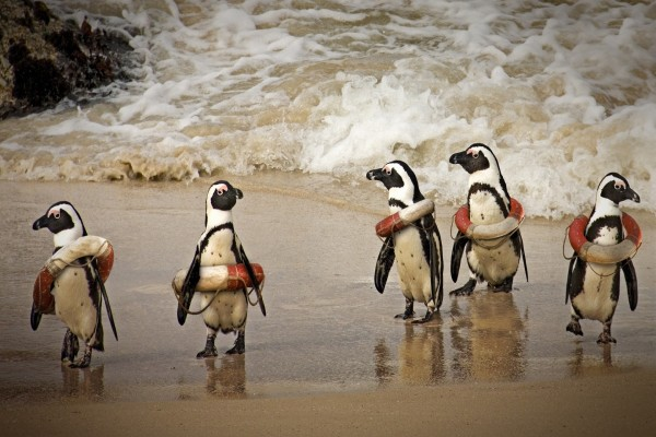 Pingüinos con salvavidas