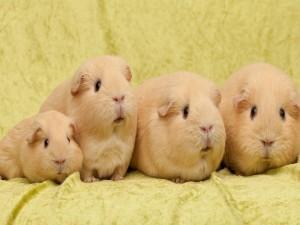 Familia de conejillos de indias