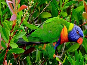 Loro multicolor, entre hojas y ramas