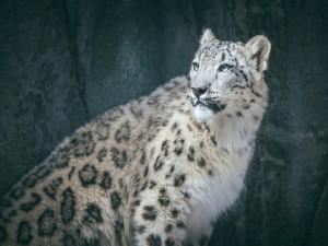 Postal: El leopardo de las nieves