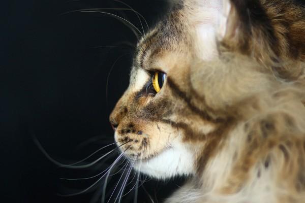 Maine Coon, raza de gato doméstico