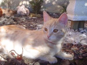 Postal: Gato de pelo corto, descansando