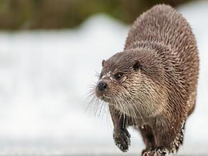 Nutria caminando en la nieve