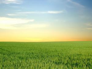 Un gran campo de trigo verde