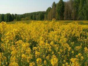 Postal: Campo con flores amarillas