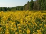 Campo con flores amarillas