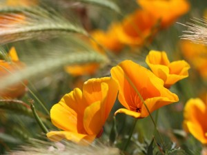 Postal: Flores amarillas y espigas