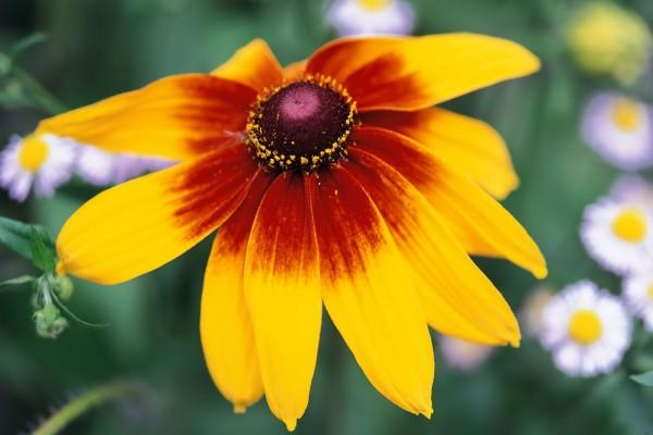 Una flor, con dos colores