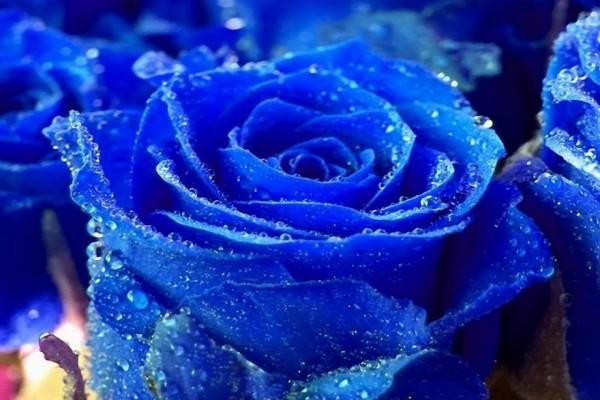 Rosas azules, con gotas de agua