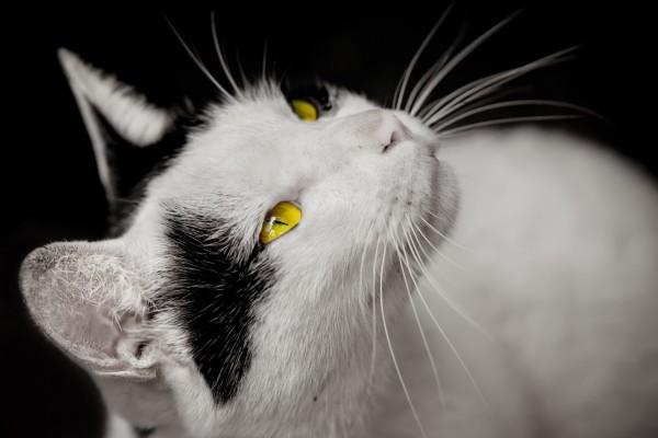 Precioso gato, con ojos de color amarillo