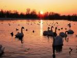 Cisnes y patos, en el lago al atardecer