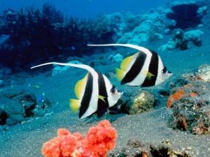 Dos peces nadando juntos, en el fondo del mar