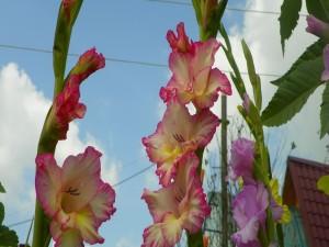 Gladiolos rosas y blancos