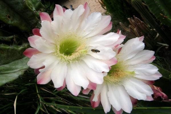 Dos bonitas flores y una abeja
