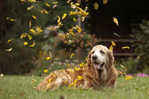 Lluvia de hojas sobre el perro