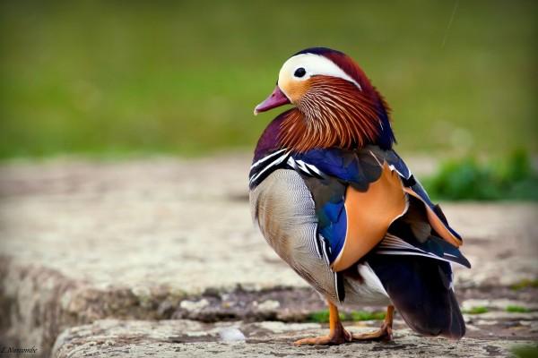 Un precioso pato mandarín