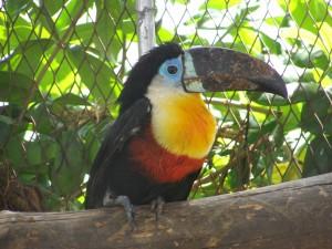 Pájaro tropical de gran pico