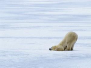 Oso polar, dormido sobre el hielo